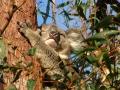 Koala-www.winki.it