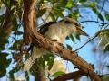 Kookaburra-www.winki.it
