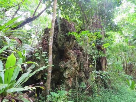Il corallo di Atiu è adirittura nella foresta