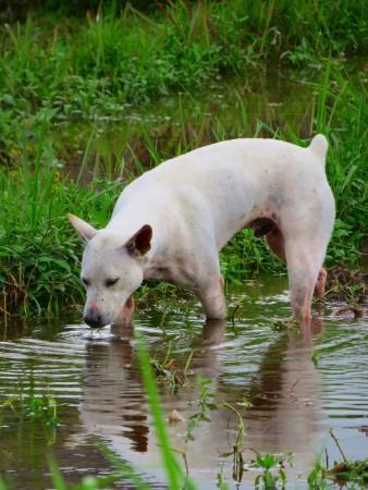 Il cane bianco di Bali