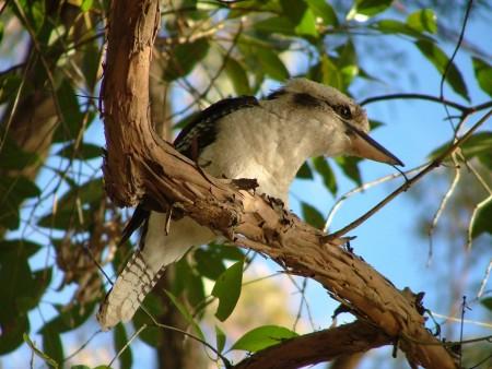 Il Kookaburra di cui parlo nel libro