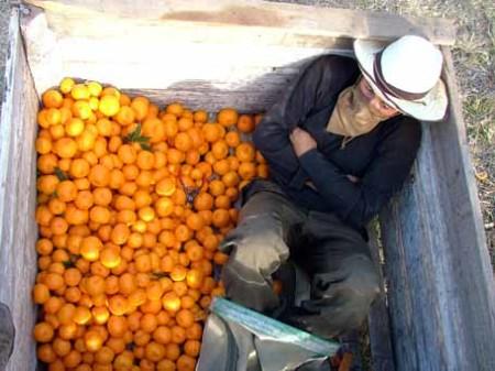 Picking_mandarins